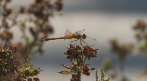 dragonfly on rain garden plant