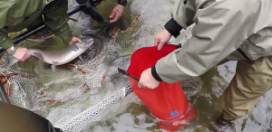 salmon net red pack