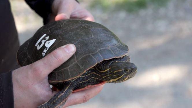 Turtle 134