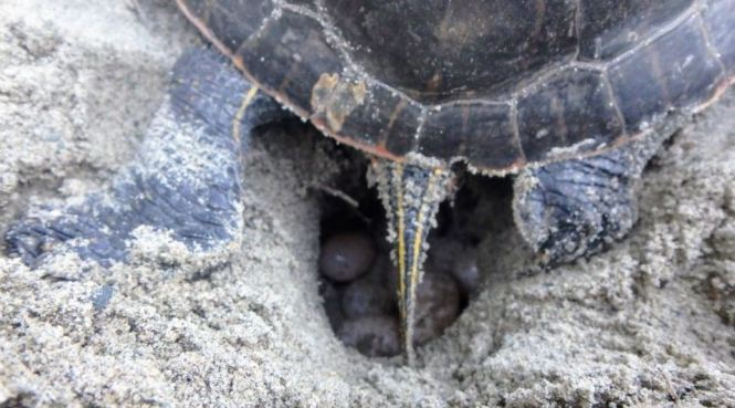 Turtle eggs in a nest