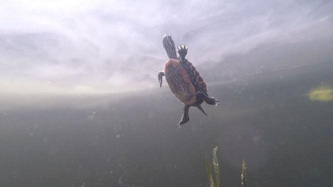 Baby turtle swims underwater